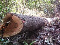 illegal_logging200hs.jpg