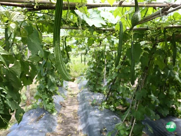 ចម្ការននោងរបស់ចម្ការបន្លែធម្មជាតិសរីរាង្គ (Eco Agri Farm) នៅខេត្តកោះកុង កាលពីថ្ងៃទី៣១ ខែកក្កដា ឆ្នាំ២០១៦។